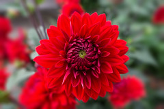 A red Dahlia(?) at Beningbrough hall - North Yorkshire