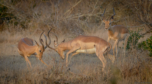 Fighting Male Impalas - South Africa
