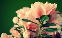 Pink {45/365} by disnemma