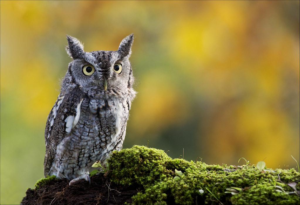 Eastern Screech Owl 32