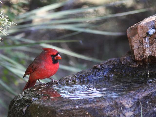 Northern Cardinal 20131102