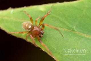 Orb web spider (Singa perpolita) - DSC_8596