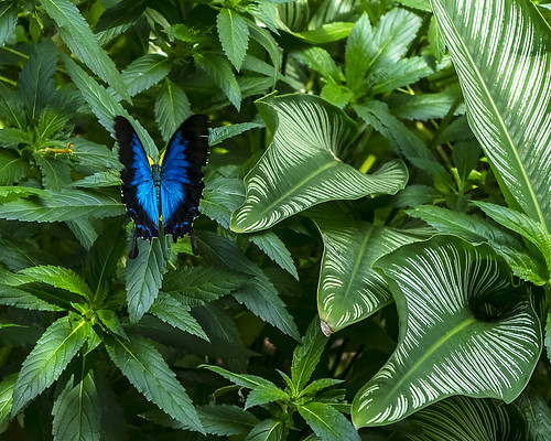 Ulysses Butterfly (Batchelor Butterfly Farm)