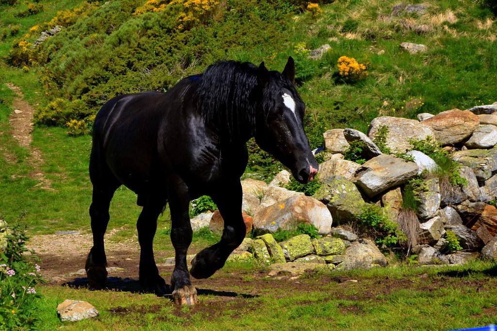 Cavall, Vall d'Incles, Andorra.