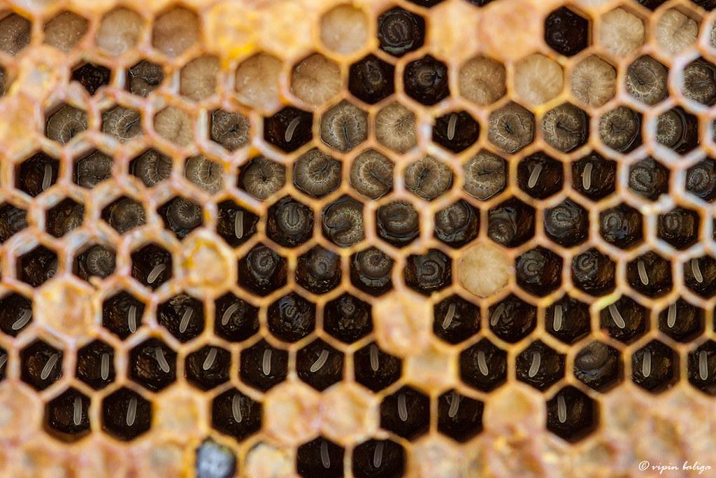 Stages of development - Dwarf Honey bee