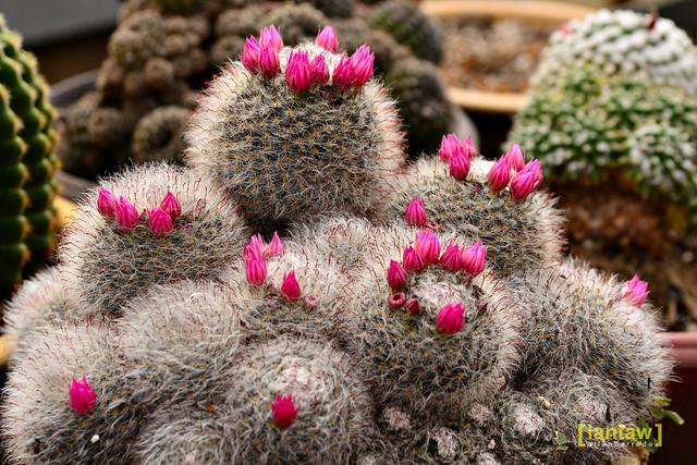 Kundasang Flower Farm Cacti