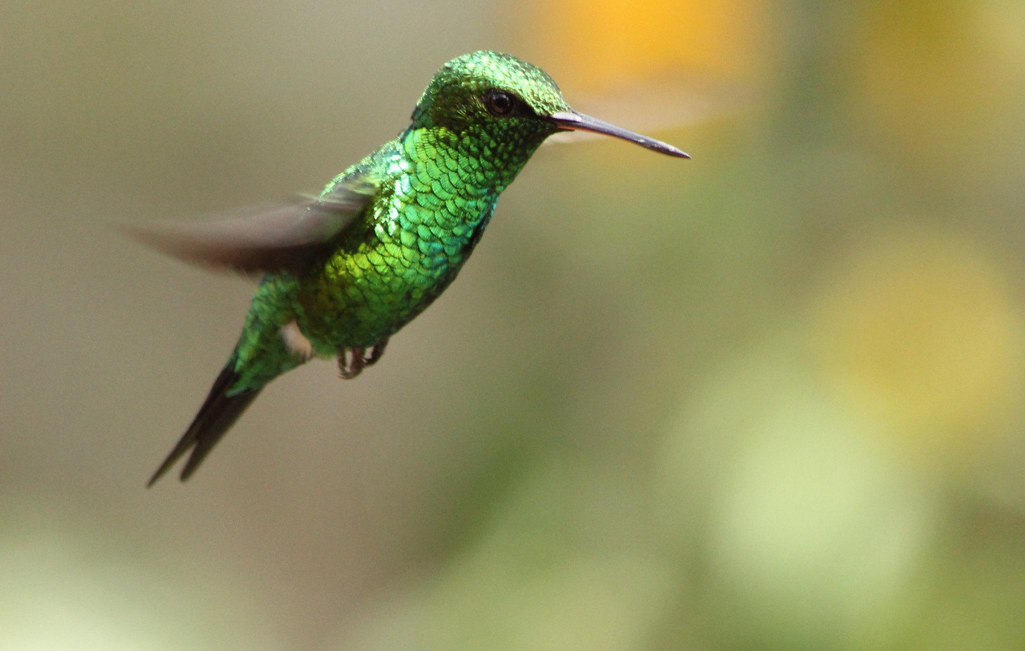Imagen de una de las aves del Quindio: Esmeralda Coliazul (Chlorostilbon Mellisugus)
