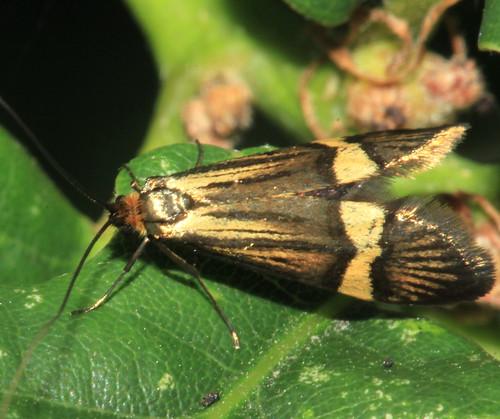 Nemophora degeerella 29892
