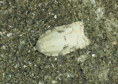 49.086 Grey Birch Button - Acleris logiana