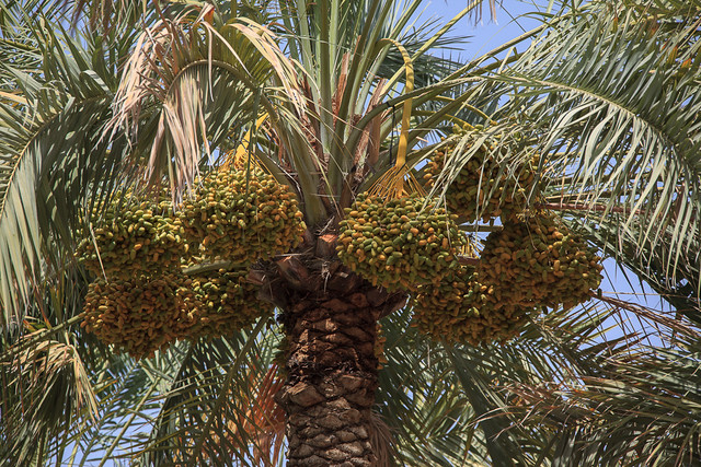 Date Palm in Al Ain Oasis