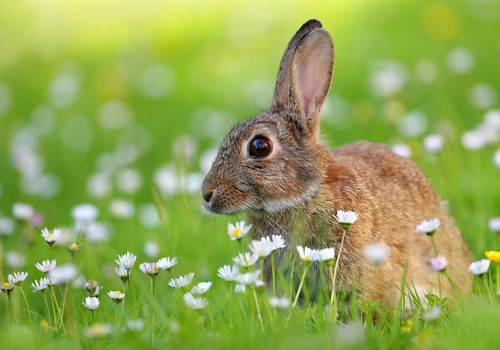 Rabbit in Meadow