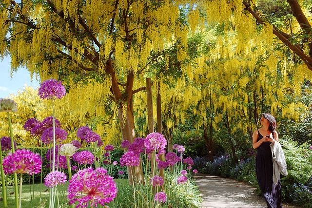 Beautiful Golden Chain Trees in Spring