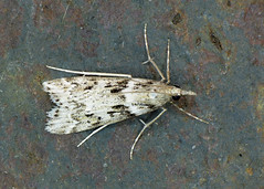 63.069 Narrow-winged Grey - Eudonia angustea
