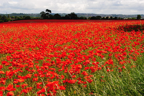 Poppies | by willowbankservices