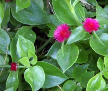 Aptenia cordifolia 2692263026_0c3b3bf3f4_o