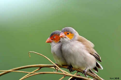 Orange Cheeked Waxbill | by Ken Goh thanks for 2 Million views