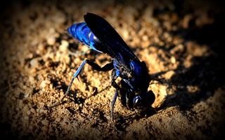 Blue Wasp | by pjmartojr@sbcglobal.net