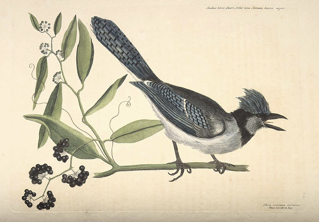 Crested blue jay, Bay-Leaved Smilax