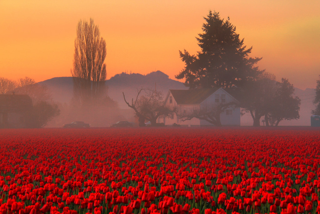 Skagit Valley Tulip Fields Foggy Farmhouse, Washington State