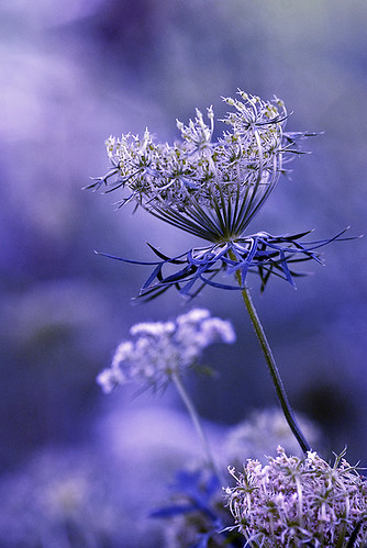 Lavender Lace | by dog ma