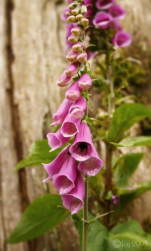 Pink Foxglove3