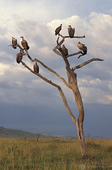 Vulture perched tree branches | by World Bank Photo Collection