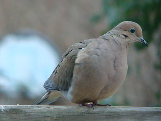 Mourning Dove | by genericzombie