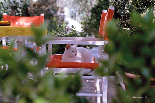 White cat of Verona - 1985 | by Stinnie