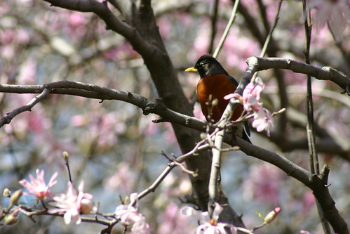 Robin in the Magnolia | by Dan Coulter