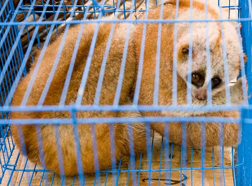 slow loris, poor guy, chinese tourists have come to eat him in a restaurant in Mong La, Myanmar | by Soggydan