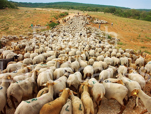 Sheeps on the road - Transhumance | by FrenchLandscapes