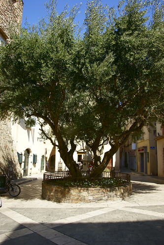 Olive Tree | by claudia@flickr