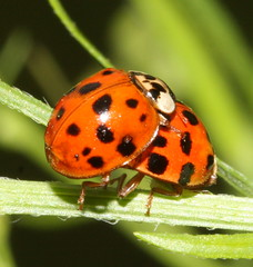 Ladybugs | by DrPhotoMoto
