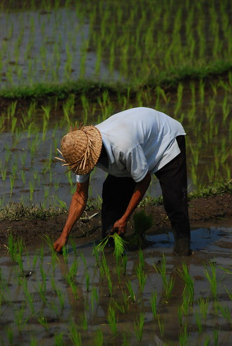 Rice Farmer | by Trent Strohm