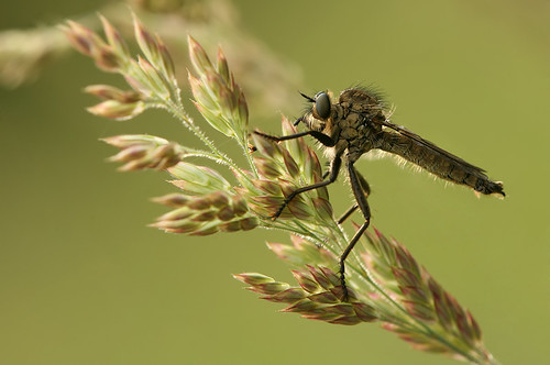 Robber fly | by  JoesSistah