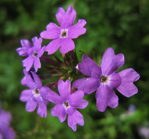 Primrose / Primula / 桜草(サクラソウ)