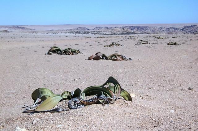 Welwitschia mirabilis Hook.f.
