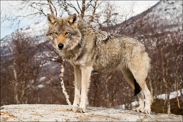 挪威政府日前下令要獵殺近7成數量的野狼,引起兩極化反應。 Flickr_Michiel van Nimwegen
