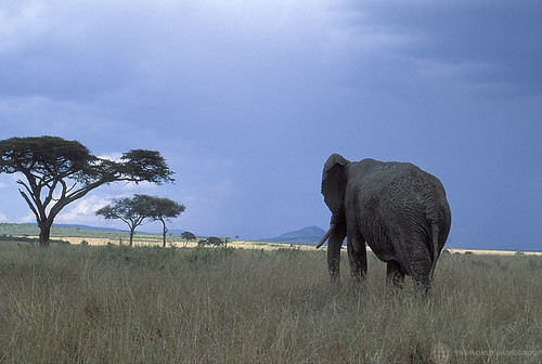 Elephant walking through brush | by World Bank Photo Collection