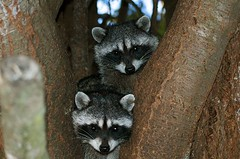 Two Raccoons | by lake.wenatchee