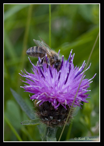 Bee on Common Knapweed (2684) | by Keith Dunning
