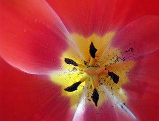 Tulip | by A Great Capture