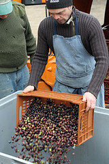 dumping olives before pressing | by David Lebovitz