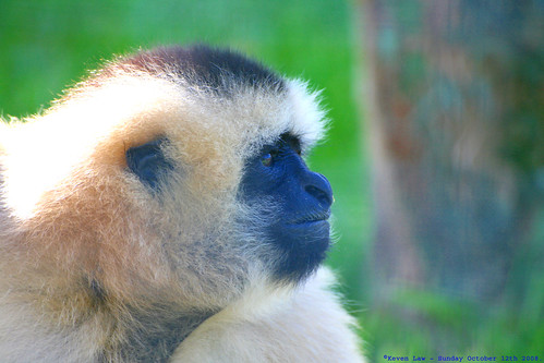 Do the Funky Gibbon.... | by law_keven
