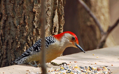 Male Red-bellied Woodpecker | by Cristiana Pamponet