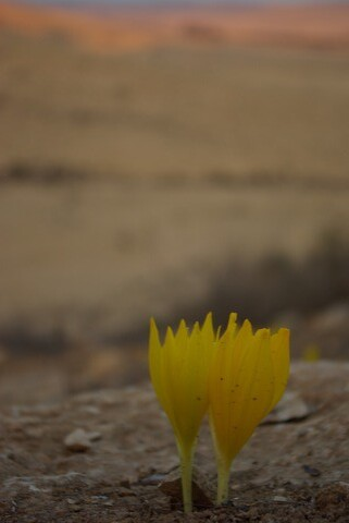 Flowers of The Negev, Israel. | by The Hungry Cyclist