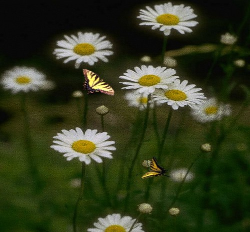 Butterflies and Daisies | by artofgold