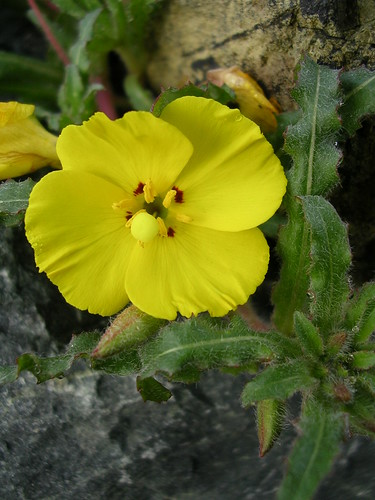 Camissonia bistorta | by anniesannuals