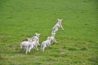 Springy lambs | by beenbrun