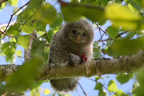 Baby Ural Owl #1 | by Stu Price